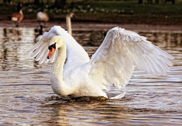 A White Mute Swan swimming in a lake with wings up and spread as though taking flight, 3 geese in the far background